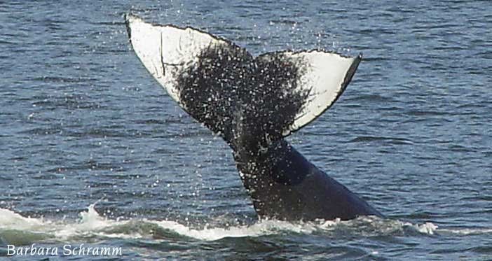 schramm design whale photo